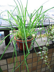Chives_terrace