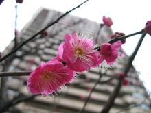 Japaneseapricot