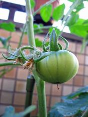Tomato0523